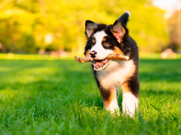 Tratamiento SILEO para perros